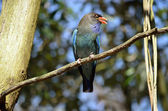 The dollarbird is chirping in the tree — Stock Photo