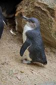 Fairy penguin — Stockfoto
