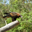 Wedge tailed eagle — 图库照片