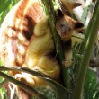 Joey tree kangaroo — Stockfoto