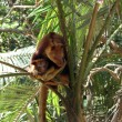 Tree kangaroo and joey — Stock Photo
