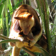 Tree kangaroo and joey — 图库照片