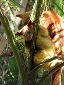 Joey strom klokan — Stock fotografie