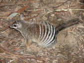 Numbat — Stock Photo