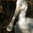 Yellow spoonbill — Stock Photo