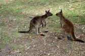 2 kangaroos meeting — Stock Photo