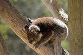 Koala cub — Stock Photo
