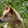 Young dingo — Stock Photo
