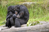 Two chimpanzees — Stock Photo