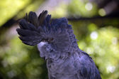 Red tailed black cockatoo — Stock Photo