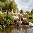 Flock of white geese entering the river — Stock Photo