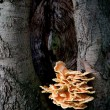 Sulfur fungus on beech tree — Stock Photo