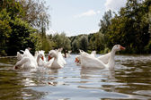Flock of white geese swimming — Stock Photo