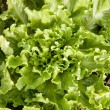 Endive lettuce in garden — Stock Photo #13520001