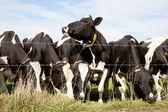 Row of black and white cows — Stock Photo