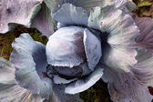 Red cabbage in garden — Stock Photo