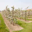 Stock Photo: Blooming apple orchard and farm house