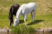 White horse and dark horse grazing together — Stock Photo