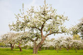 Flowering apple trees in holland — Stock Photo