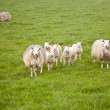 Stock Photo: Sheep and lambs in meadow