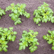 Potato plants in garden — Stock Photo