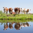 Stock Photo: Young cows in meadow