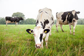Three cows in green meadow — Stock Photo