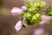 Bee on buds of pink flower — Stock Photo