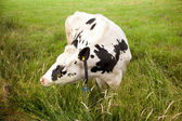 Black and white cow grazing in ditch — Stock Photo