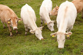 White and brown cows in dutch meadow — Stock Photo
