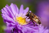 Biene auf lila blume — Stockfoto
