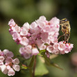 Bee standing upright on pink flowers — Stock Photo