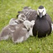 Three young geese and mother — Stock Photo #48790863