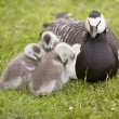 Three young geese and mother — Stock Photo #48790879
