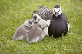 Three young geese and mother — Stock Photo