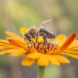 Bee on orange marigold — Stock Photo #49580459