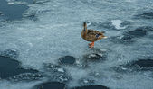 Duck on melting ice — Stock Photo
