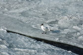 Seagull on broken ice — Stock Photo