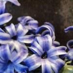 Blue hyacinth — Stock Photo #19109817
