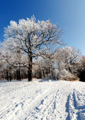 Winterhoof trees — Stock Photo