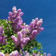 Lilac bush blooming - Stock Photo