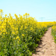 Rapeseed field - Stock Photo