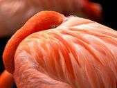 фламинго — Стоковое фото