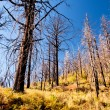 Burned trees — Stock Photo