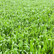 Stock Photo: Shoots of grass
