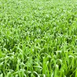 Shoots of grass — Stock Photo