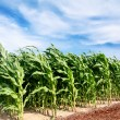 Corn field - Foto Stock