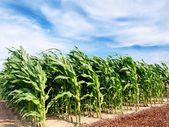 Corn field — Foto Stock