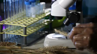 Research samples of genetically modified wheat — Stock Video