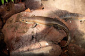 Lizard — ストック写真